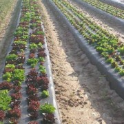 fresh local food - sustainable agriculture - lettuce