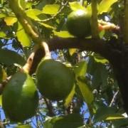 avocado regional food vs local food