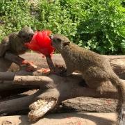 tomatoes vs squirrels