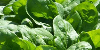 seasonal eating local spinach