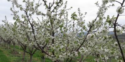 seasonal eating local apple trees blooming